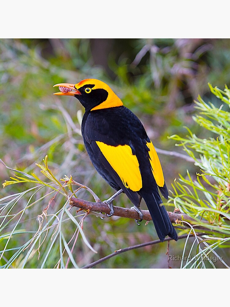 Regent Bower Bird, Lamington National Park, Australia by RICHARDW