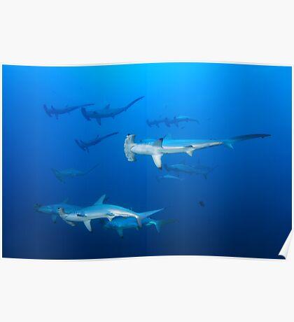 Hammerhaie Poster