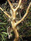 Phascolarctos cinereus - Koala Bear by Jason Asher