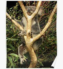 Phascolarctos cinereus - Koala Bear Poster