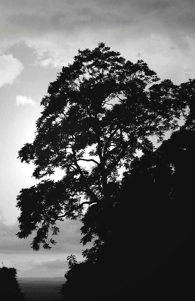 Browns Mountain Cedar by Denky