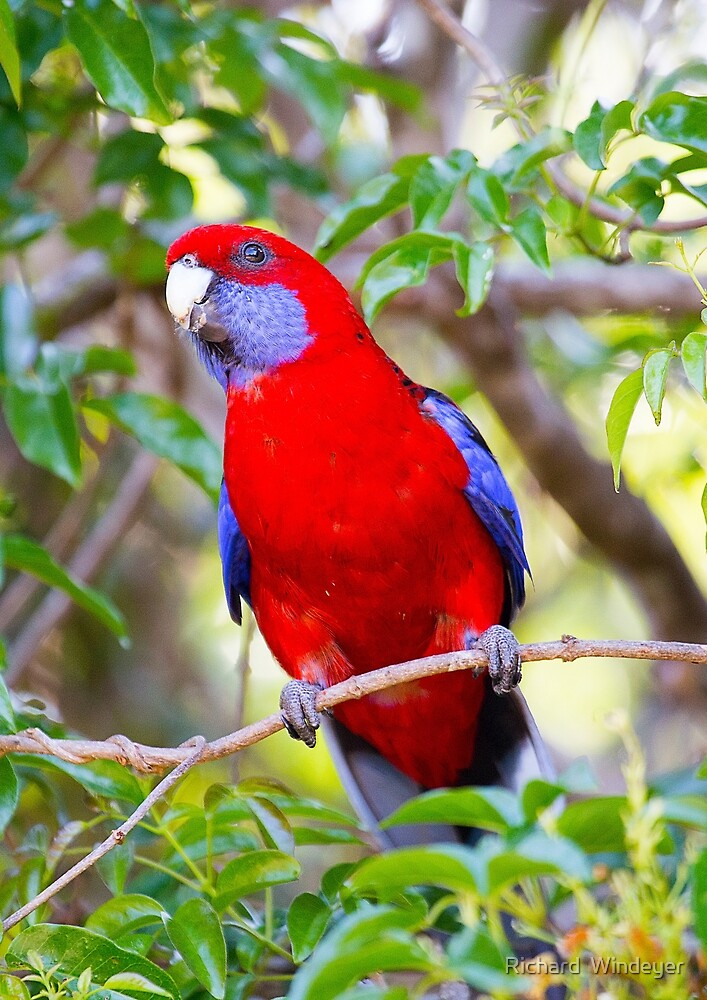 Crimson Rosella, Lamington National Park, Australia by Richard  Windeyer