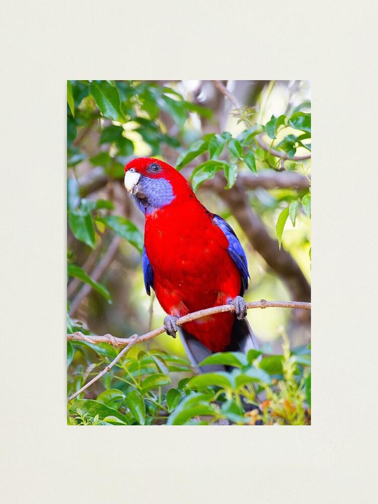 Alternate view of Crimson Rosella, Lamington National Park, Australia Photographic Print