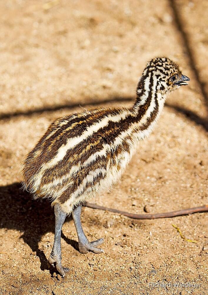 Baby Emu by Richard  Windeyer