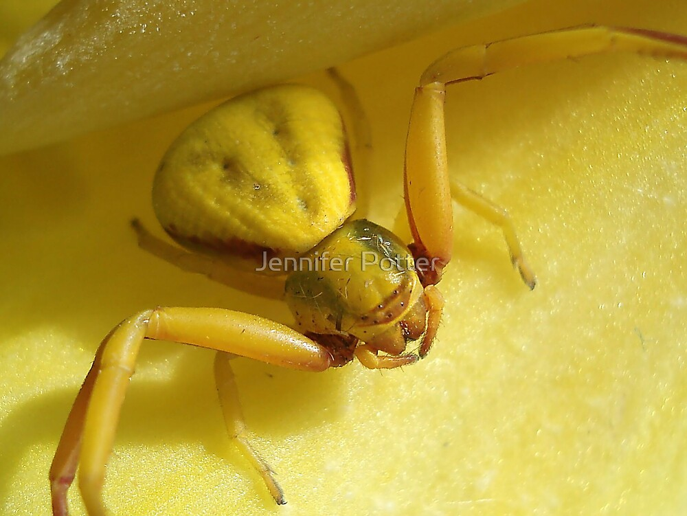 Yellow Crab Spider by Jennifer Potter