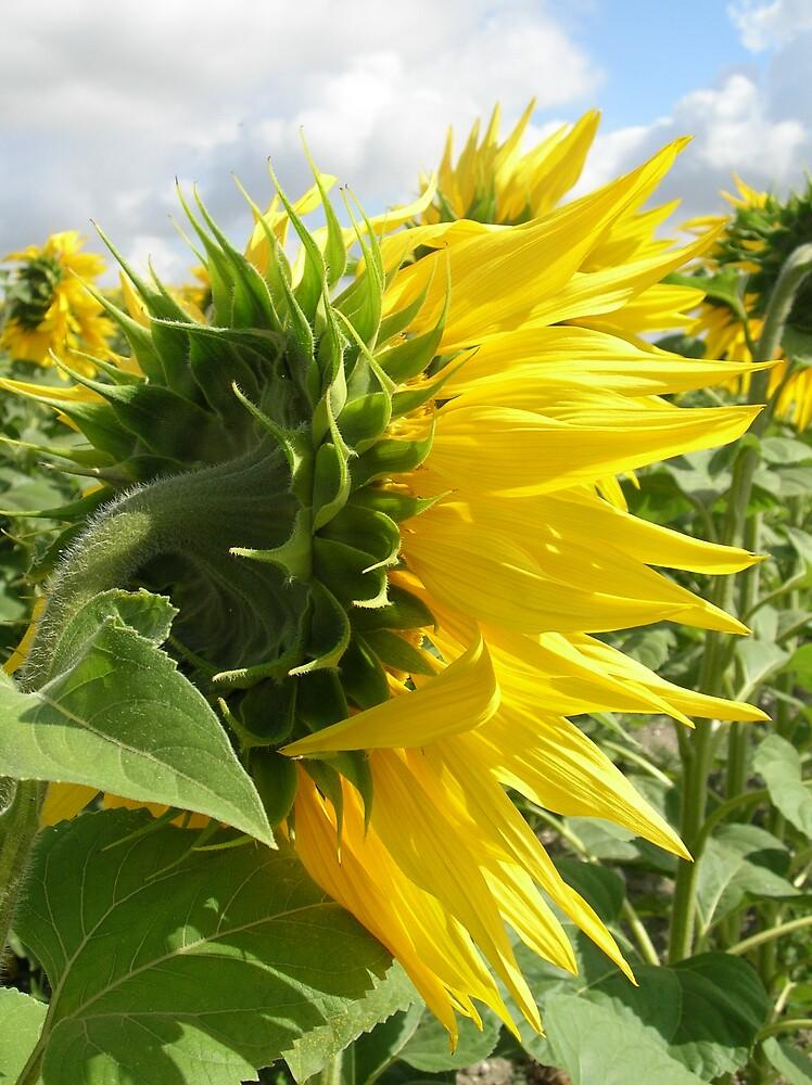 Sunflower sepals by Gabrielle Battersby