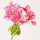 Variegated Pink Geranium  by Sandra Foster