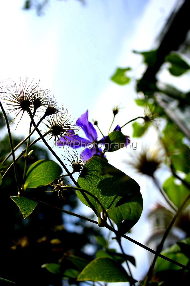 Morning Glory by CWPhotography