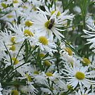 Bee and Asters by Judi FitzPatrick