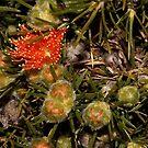 Eremaea acutifolia  by andrachne