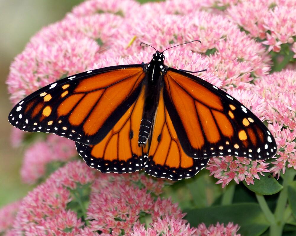 surprise september butterfly by edward gaudette