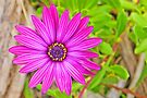 Pink Gazania in the wild by Graeme  Hyde