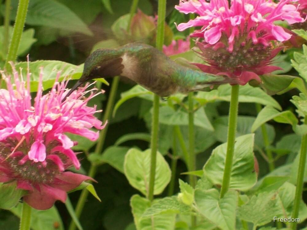 Hummingbird Joy by Freedom