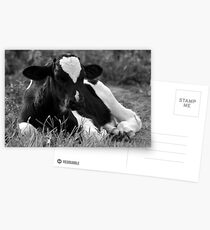 Calf Postcards