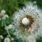 A Dandelion Puff by Diane Petker