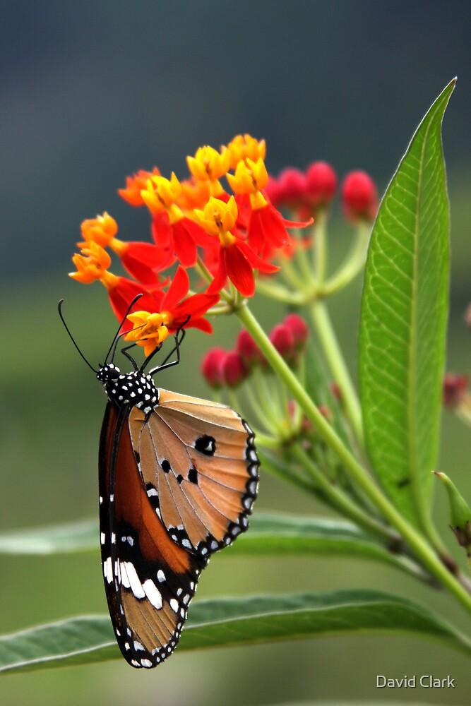 Rishikesh butterfly by David Clark