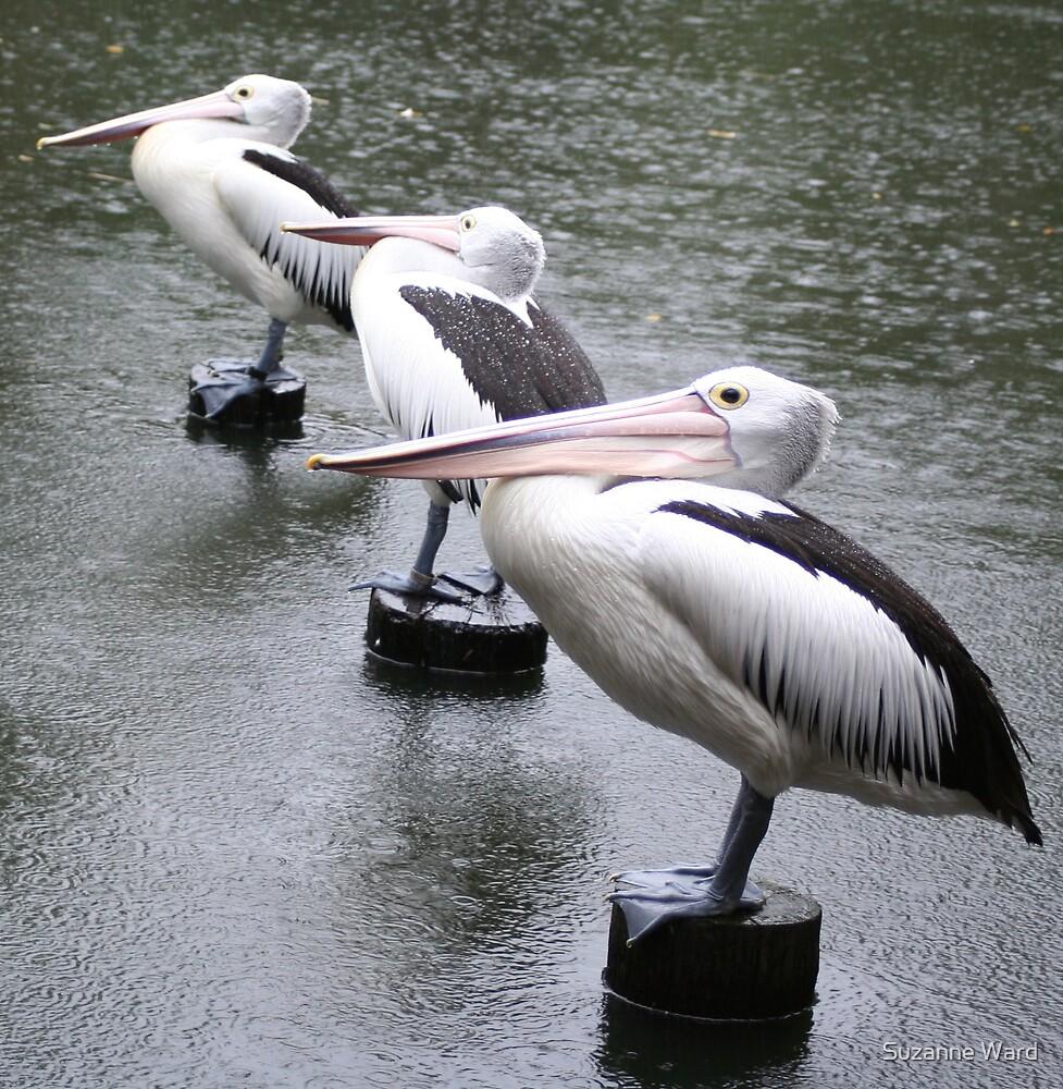 pelican birds by Suzanne Ward