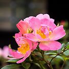 Wild Rose by JEZ22