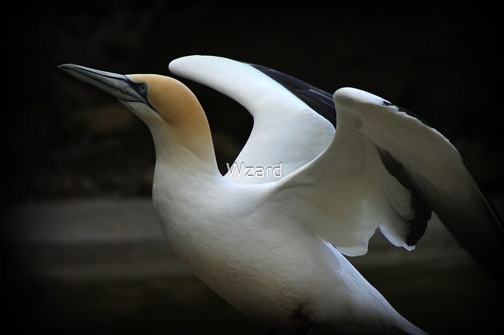 Gannet by Wzard