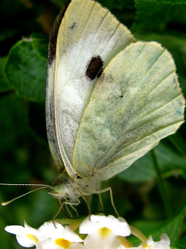 butterfly on a leaf by Francesca Rizzo