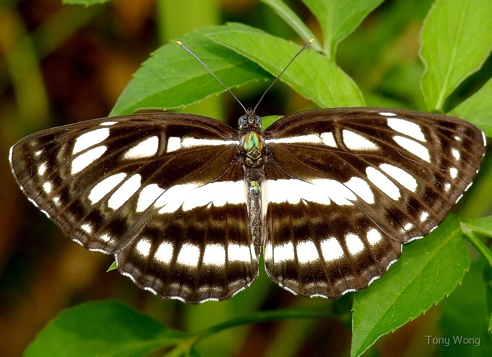 Common Sailor Butterfly by Tony Wong