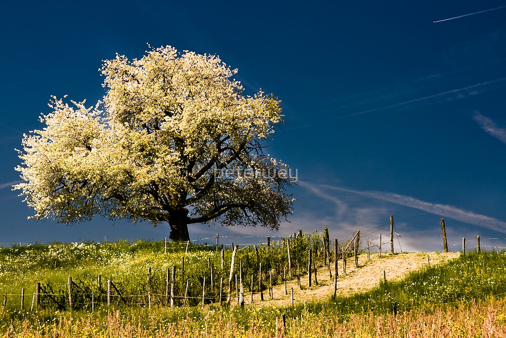 Blossoming cherry tree in spring by peterwey