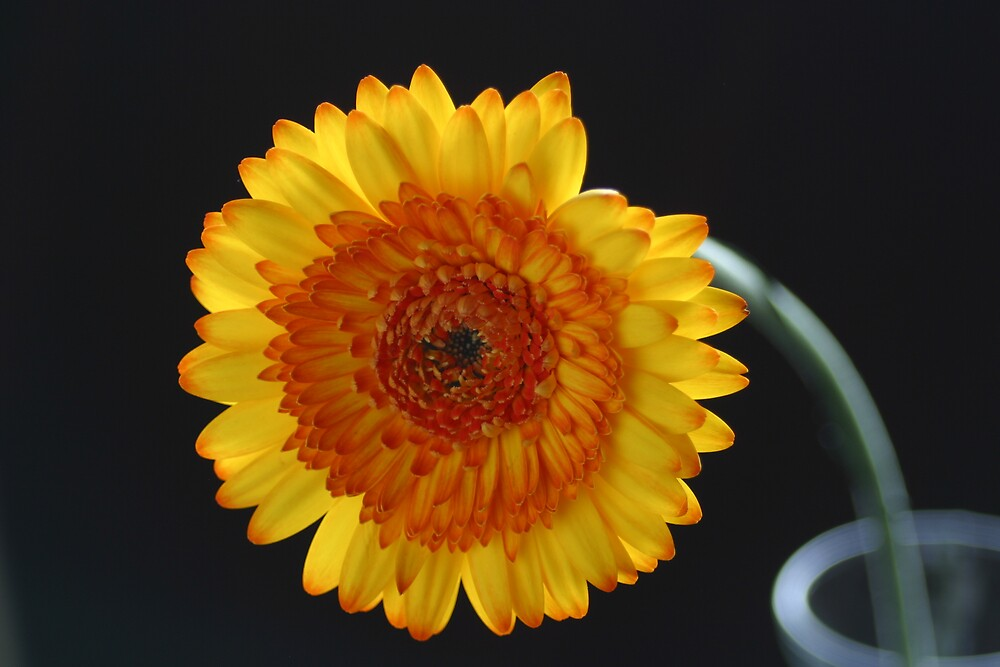 Gerber Daisy in a Vase by C5Photography