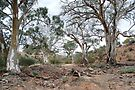 Majestic River Redgums - Flinders Ranges by Ian Berry