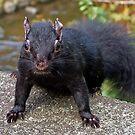 Black Squirrel by AnnDixon