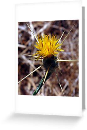 star thistle, California's bane by Lenny La Rue, IPA