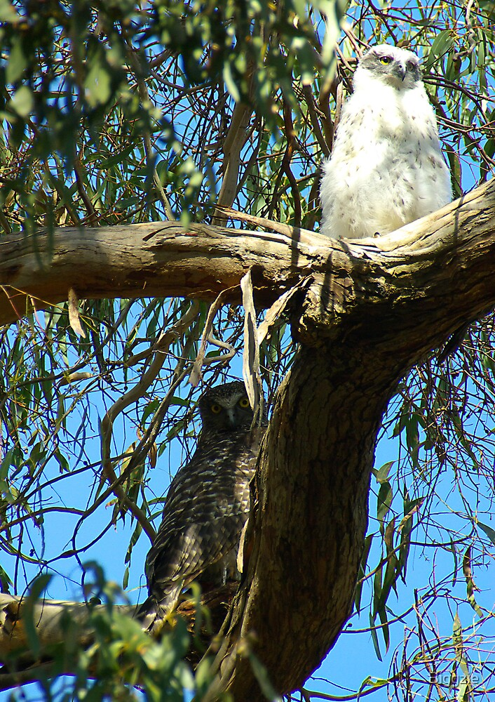 Powerful Owl Family 10 by Biggzie