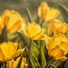 Spring Gold by yolanda