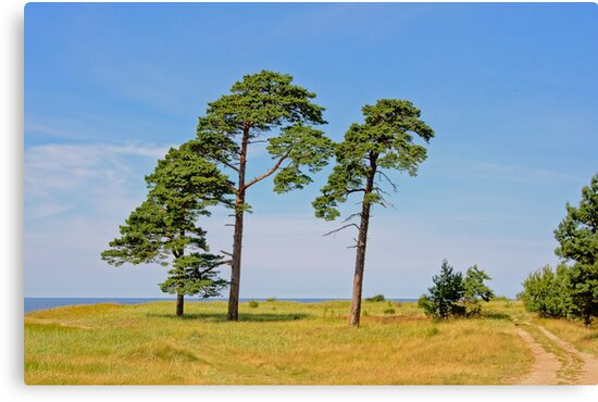 Beatuiful Latvian landscape with pine trees by xophotography