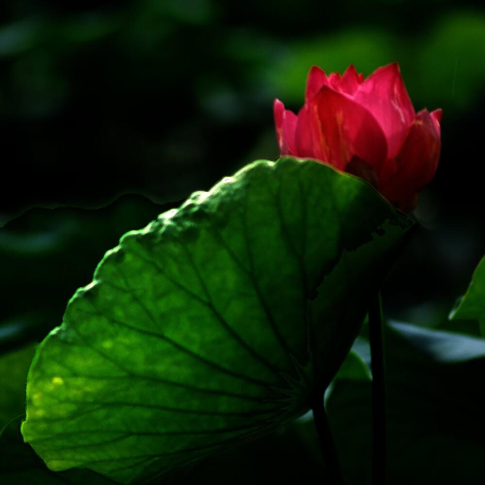 The sensual lotus by richardseah