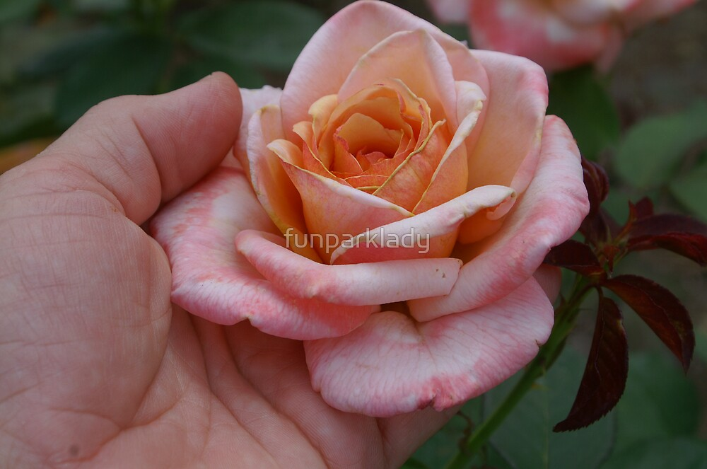 3 Tone Rose by funparklady
