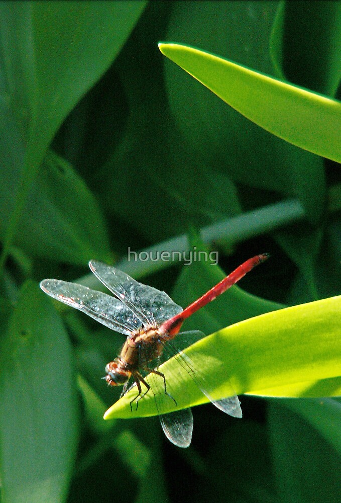 The red dragonfly by houenying