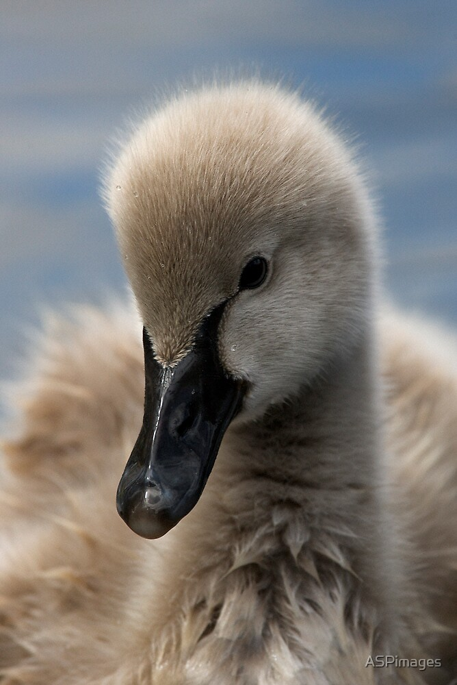 Cygnet by ASPimages