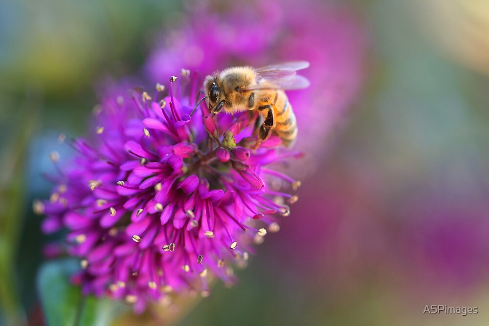 Bee by ASPimages