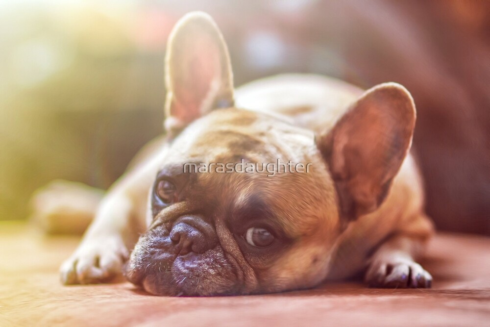 french bulldog laying by marasdaughter