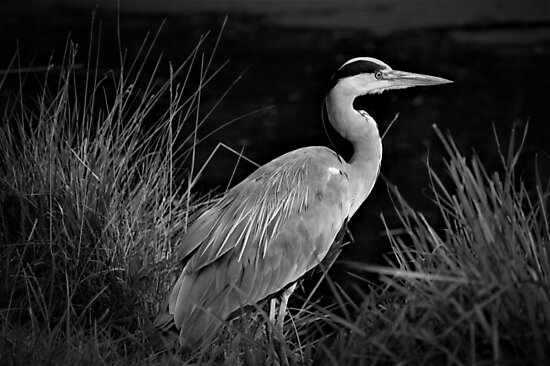 The Resting Heron by Soulista