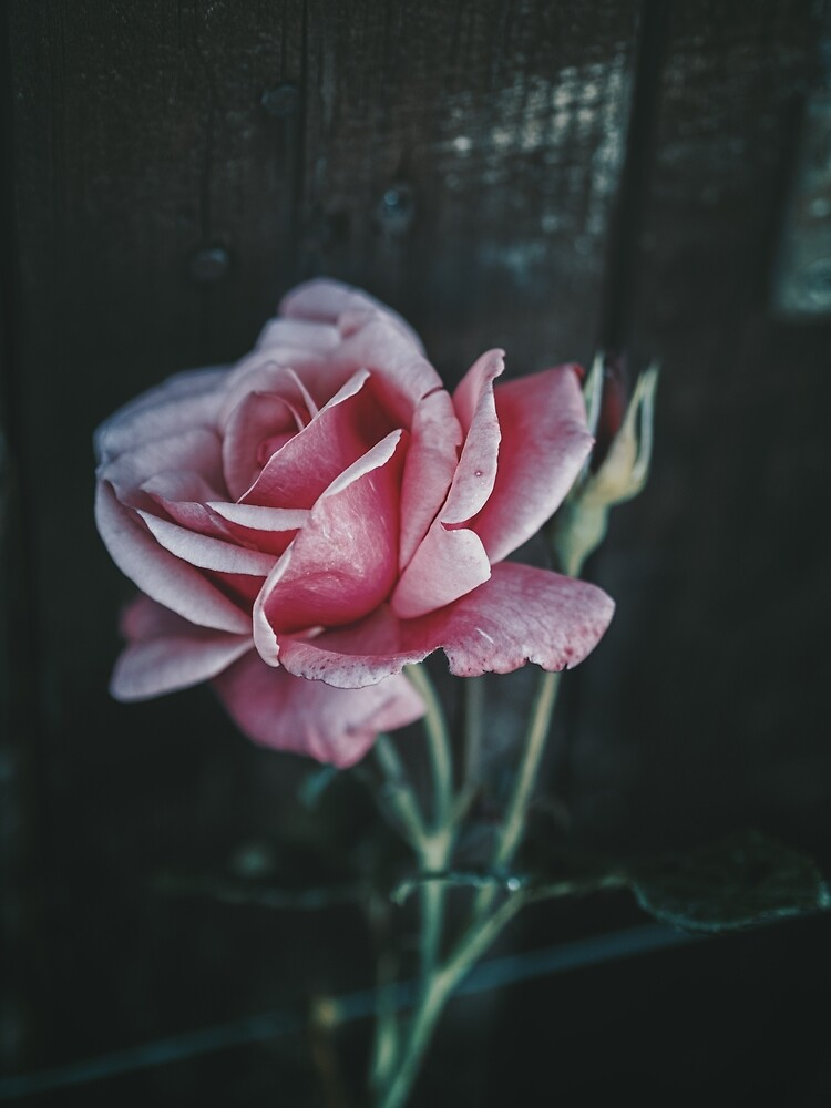 a rose is a rose by brian mcdonnell