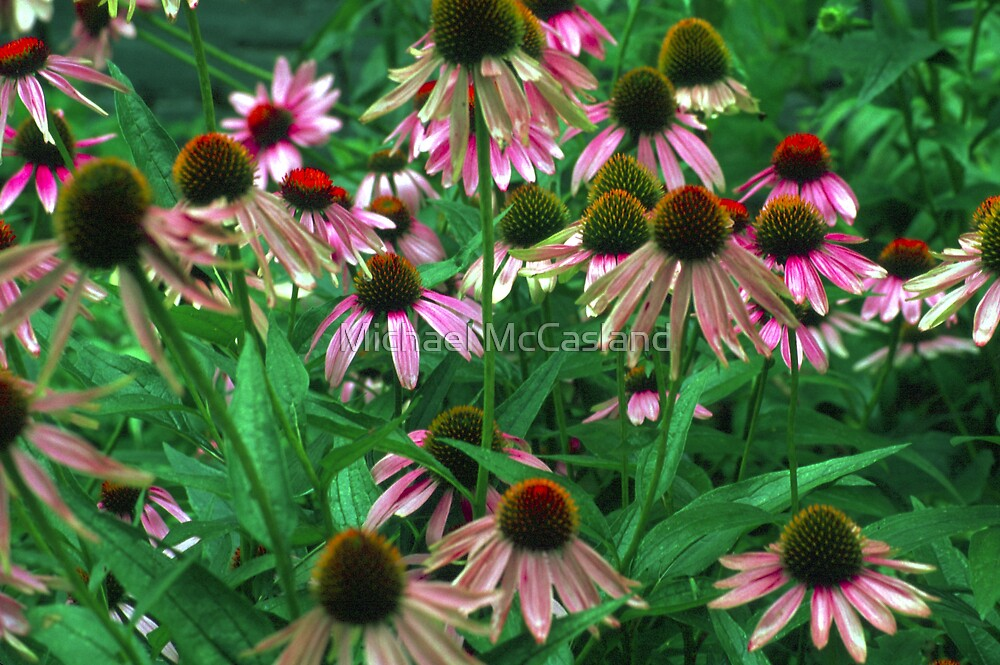 Cone Flowers II by Michael McCasland