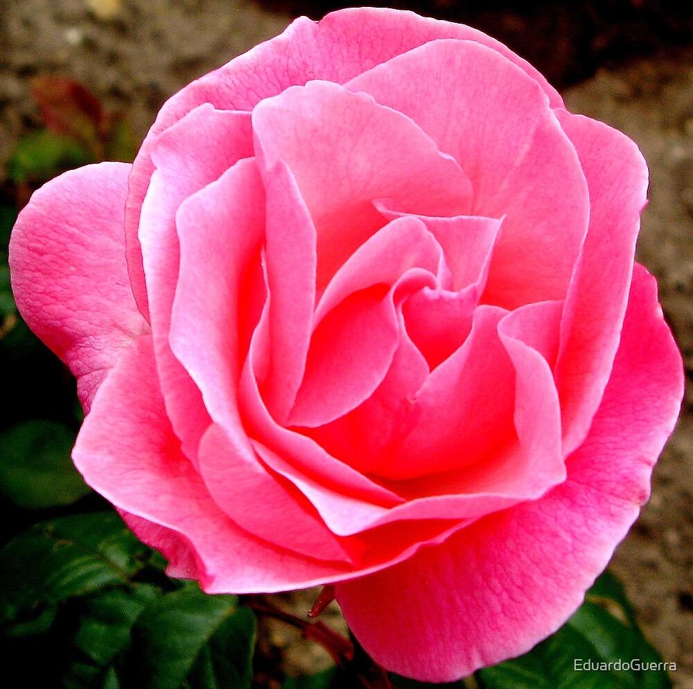 Rose  by EduardoGuerra