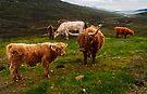 Highland Cattle at Loch Anort, Isle of Skye, Scotland by Yukondick