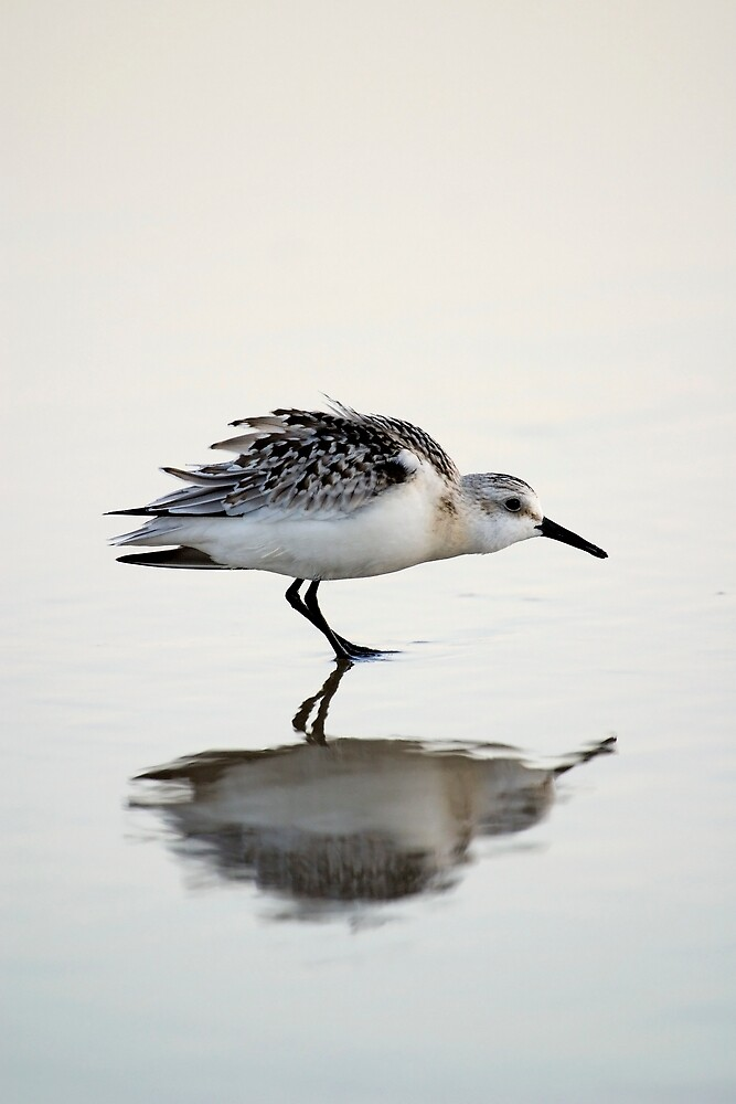 Reflection of a Sanderling by C5Photography