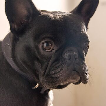 French Bulldog by jordanturnip