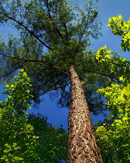 Tall Pine by Lisa Taylor