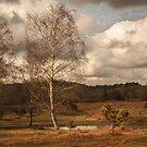 Autumn birches by Sue Purveur