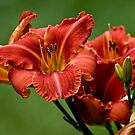 """Raging Wildfire"" Daylily by Michael Cummings"
