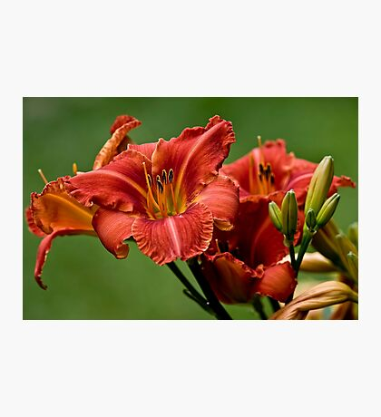 """Raging Wildfire"" Daylily Photographic Print"